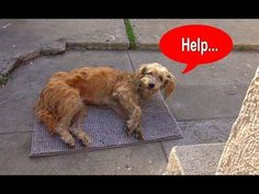 Hope For Paws: Stray dog walks into a yard and then collapses... - YouTube