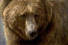 Artist: Robert Bateman, Title: Grizzly Head Study - click for larger image