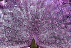 A PURPLE peacock?!?!  I wonder if this was photoshopped??  I do hope not!!