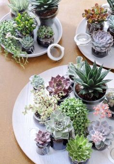 Succulents in jam jars