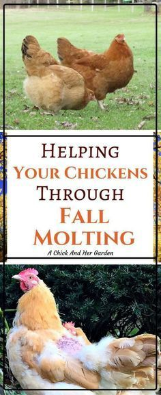 Your poor chickens will go through molt every year! Take these steps to help them through fall molting!