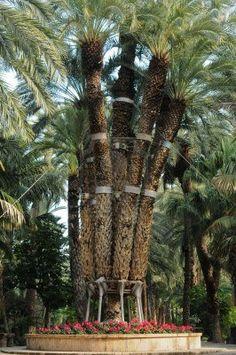 Imperial Palm en Huerto del Cura Jardín, Elche, España