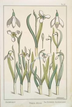 Snowdrop ( circa 1896) by Maurice Pillard Verneuil from 'La Plante et Ses Applications Ornementales.' Image and text courtesy NYPL Digital Gallery.