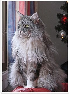 Gorgeous!!!  Maine Coon Cat!