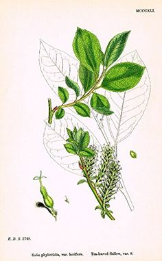 "Sowerby's English Botany - ""TEA-LEAVED SALLOW O"" - Hand-Colored Litho - 1873"