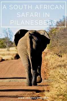 A safari in Pilanesberg National Park, South Africa with a stay at Pilanesberg Private Lodge. Click through to read the full post! Travel in Africa.