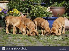 Bluthunde Welpen / Bloodhound Puppies Stock Photo: 275758644 ... #bloodhound puppies
