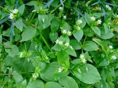 Chickweed Herb (Stellaria media) - Uses And Side Effects Stomach Ulcers, Wild Edibles, Healing Herbs, Alcohol Free, Herbal Medicine, Side Effects, Home Remedies, Herbalism, Grass