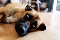Lovely dog, blue eyes :)