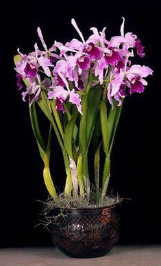 Cattleya purpurata, orchids