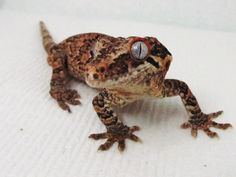 Gargoyle Geckos - ok not a chameleon but we also have one of these
