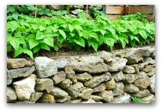 Raised bed garden with rock wall growing green beans.