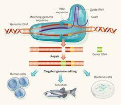 CRISPR Cas9 Genome Editing | OriGene