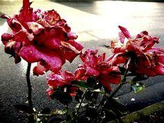 Rose.Light.Own.Photo.
