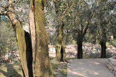 L'olivaia di Arco
