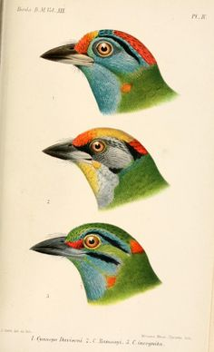 Blue-throated Barbet (Cyanops davisoni) - Catalogue of the Birds in the British Museum