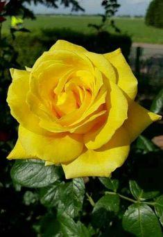 Жёлтая роза- эмблема печали...