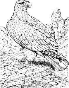 Golden Eagle Bird Coloring Page Animal Coloring pages of