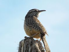 Birds of Phoenix - Gallery 2: Cactus Wren