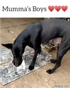 That mum is a new mum by the size of her breasts. but I doubt she is the Mum of those kittens 😊⚘⚘⚘ Cute Funny Animals, Cute Baby Animals, Funny Dogs, Animals And Pets, Cute Cats, Puppies And Kitties, Cute Puppies, Kittens, Doggies