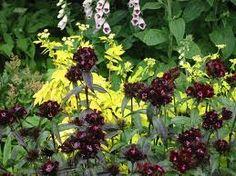 dianthus black adder