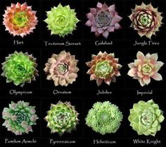 A supreme selection of succulents - I never knew there were so many!