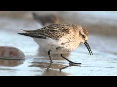 Identifying Knot and Dunlin   BTO - British Trust for Ornithology