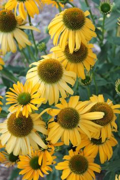 """Echinacea, Sunbird from Terra Nova is a huge advancement in coneflowers, with large, golden yellow flowers atop very sturdy 2' tall stems starting in June (NC). The flowers open golden yellow and age to buttery yellow...a lovely color contrast. 24"""" tall"""