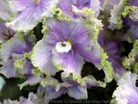 African Violet Society of America Perennial Flowering Plants, Herbaceous Perennials, Saintpaulia, African Violet, Day Lilies, Indoor Plants, House Plants, Planting Flowers, Beautiful Flowers