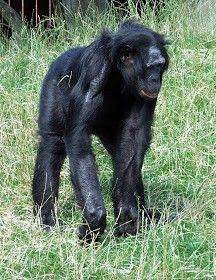 Les bonobo du Congo RDC
