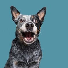 Has your dog ever eaten your money? Animals And Pets, Funny Animals, Cute Animals, Australian Cattle Dog, Perro Blue Heeler, Blue Heelers, Dog Portraits, Happy Dogs, Dog Art