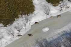 Aerial shot of gray wolves in Michigan's Upper Peninsula. Courtesy Michigan DNR.