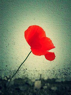Mio poppy