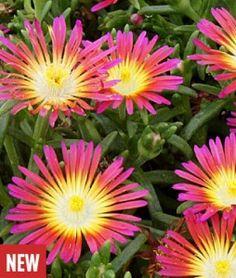 Delosperma Hot Pink Wonder Plants