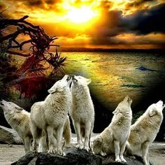 Wolf Images, Wolf Pictures, Beautiful Wolves, Animals Beautiful, Wolf Howling At Moon, Wolf Spirit Animal, Night Gif, Good Night Sweet Dreams, Before Sunset