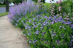 amsonia companion plants - Google Search Plant Design, Garden Design, White Flower Farm, Border Plants, Companion Planting, Landscaping Plants, Native Plants, Garden Planning, Garden Inspiration