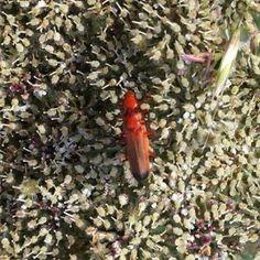 Hogwood Bonking Beetle Qr Code Generator, Channel Islands, Beetles, Insects, Coding, Programming