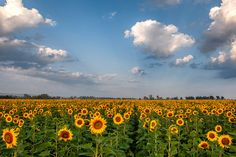 A vibrant landscape of a field of sunflowers at sunrise. A variety of fine art papers and canvas are available including framed and mounted options too. A must have print to add color and joy to any home, office or lodge.