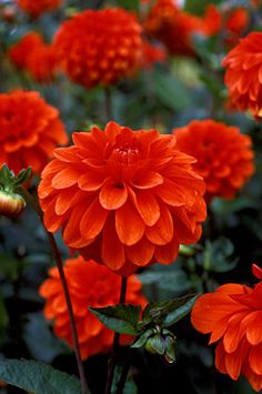 """The Dahlia, not just your """"Grandmothers flower"""". Beautiful Annuals (which means they come back every year)! Just in case you didn't know."""