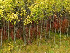 Young aspen turning autumn colors in the Gorkhi-Terelj National Park in Mongolia. http://www.stonehorsemongolia.com