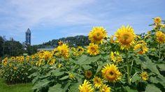 Sunflowers in Higashiyama.Zoo-Botanical Garden