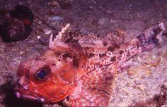 GURNARD PERCH COMMON 8 11 97 DREDGE GLENELG SA  Underwater photographer:  David Muirhead
