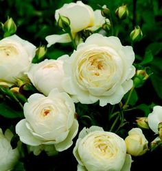 Claire Austin New 2012 - partial shade, border or climbing rose