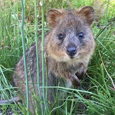 Rottnest Island - The exclusive home of the cutest marsupial on the planet:   The Quokka