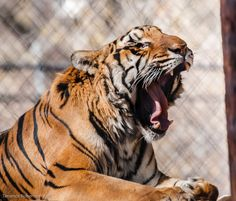 Yawn, who woke me from my nap?  Can you open your mouth this wide?  Imagine what would fit between those jaws! Photographed by Terrence Robertson-Fall at Shambala Preserve.