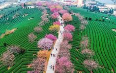 China's Cherry Blossom Trees Are In Full Bloom, And It Is Simply Magical Cherry Blossom Tree, Blossom Trees, Cherry Tree, China Tourism, Day Of Death, Natures Path, Sakura, Nature Animals, Beautiful Images