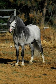 Welsh Mountain pony stallion SRW Spree's Silver Mine …
