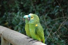 Once an Amazon Parrot finds a mate, they pair up and live in a harmonious life-long partnership.
