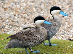 Puna Teal - resident in the Andes of Peru, western Bolivia, northern Chile, and… Geese Breeds, Duck Breeds, Pretty Birds, Beautiful Birds, Animals Beautiful, Exotic Birds, Colorful Birds, Duck Species, Teal Duck