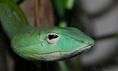 Venomous Serpentes on Pinterest | 431 Pins